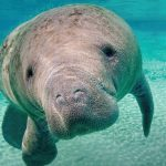 An Open Letter to Florida Boaters: Please Help Reduce Manatee Injuries and Deaths